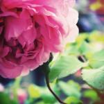 pinkrose14401280