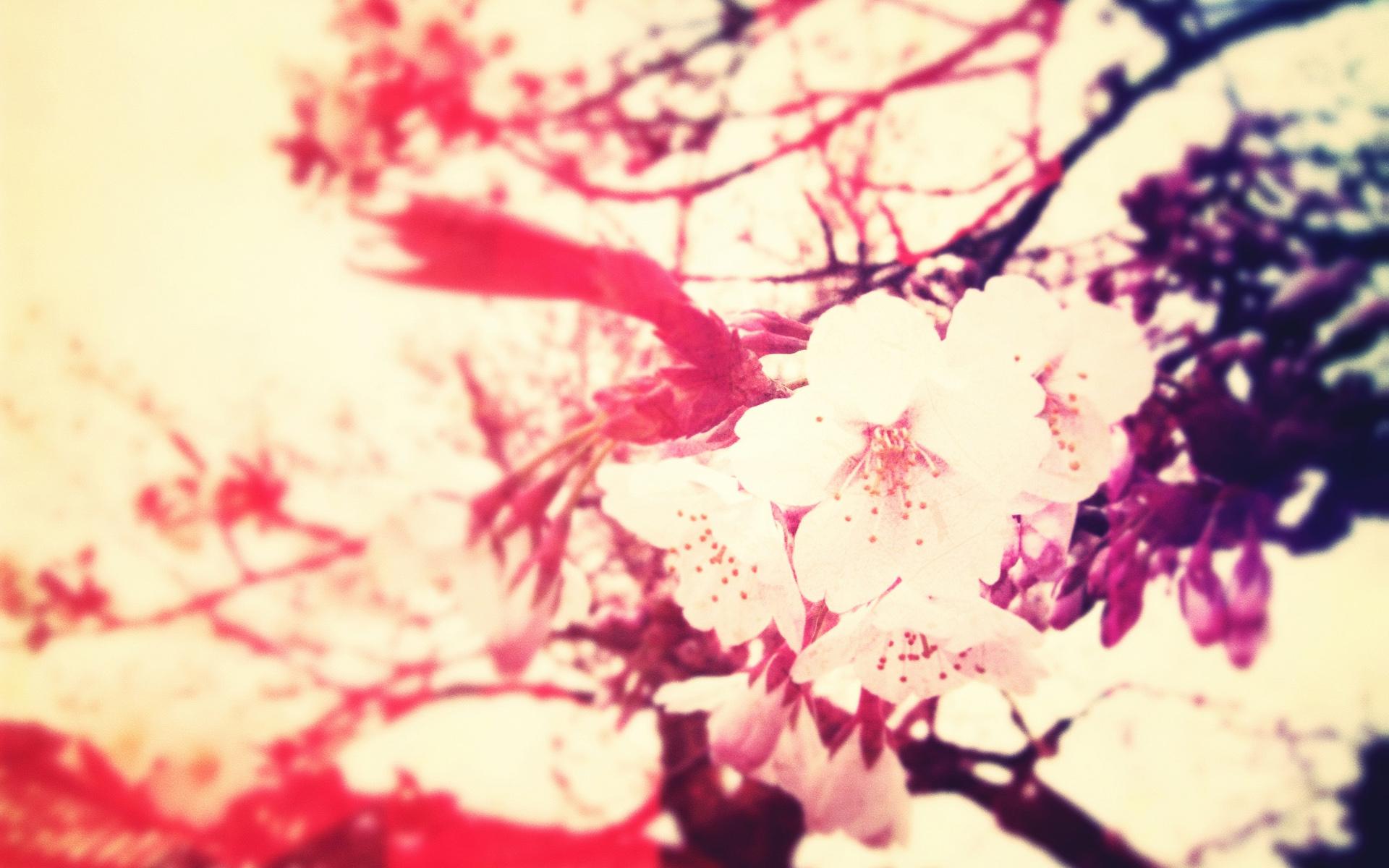桜の壁紙 * めんこい。 - めんこい。